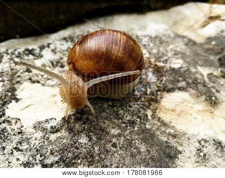 Big Snail on a tree Close-up. Arianta arbustorum.