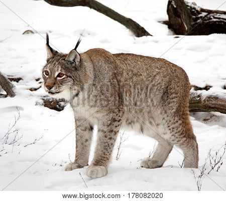 Lynx the big wild cat costs on snow