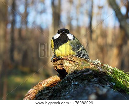 The titmouse sits on a mossy tree with a hollow