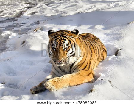The Amur tiger lies on snow in the sunny day