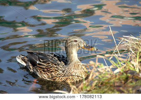 The wild gray duck has swum up to the coast