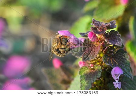 Bumble bee pollinating a wild flower in spring. Honey bee feeding in garden