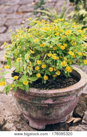 Old ceramic pot with yellow flowers. Flower pots with plants in summer garden