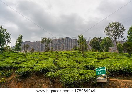 Tea Plantations In Mountains In Munnar Kerala South India.