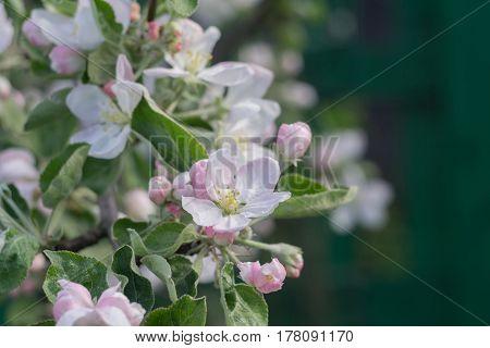 Spring Apple Blooming Trees