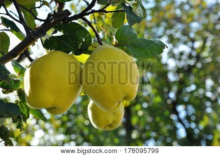 Quince on branch. Organic natural quince apples on the tree at fall.