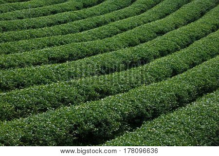 Tea plantation organic farm on mountain landscape