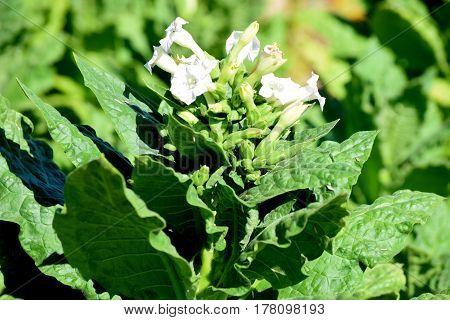 beautiful white flower on a green tobacco stabliki field