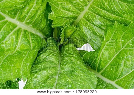 Green leafy lettuce for cooking close-up  gardening, green, grow