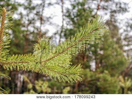 Pine tree branch with rain drops hanging on green needles