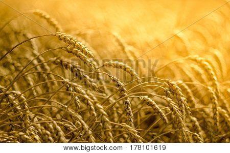 Wheat field in Krasnodar, Russia. Summer, 2016