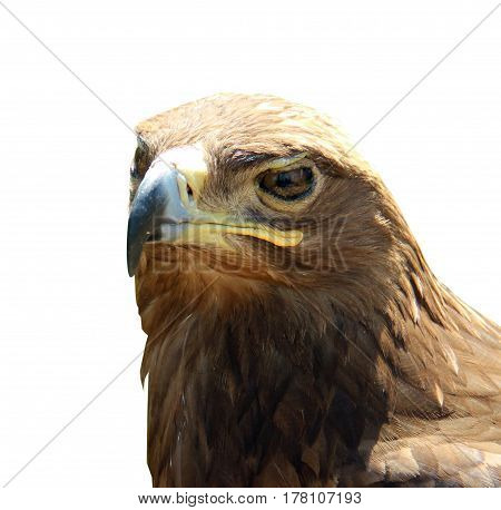 Portrait Skeptical Eagle Isolated On White Background.