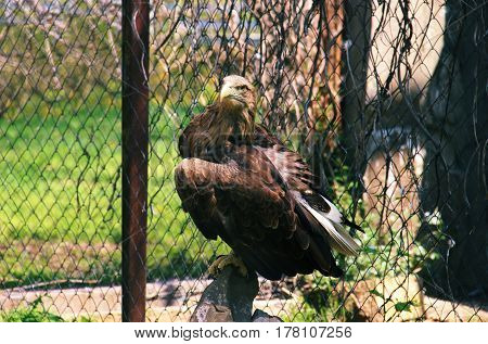Eagle In Cage Stand On A Stone Horisontal