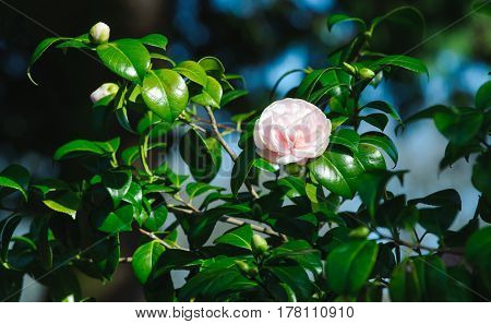 Pink Camelia Flowers on a spring time