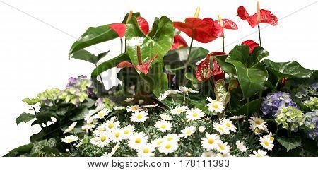 Many White Daisies And Red Flower Anthurium