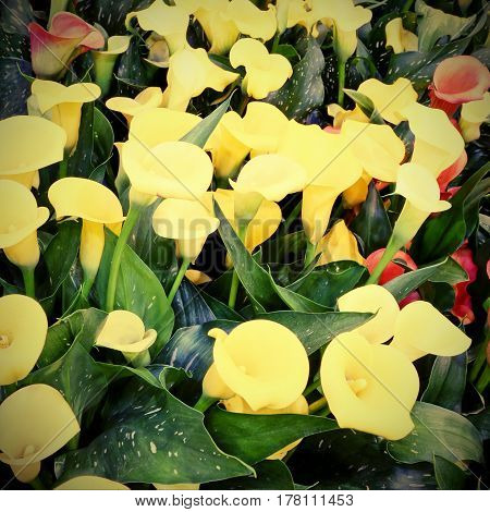 Colored Blossomed In Spring Calla Flowers With Vintage Effect
