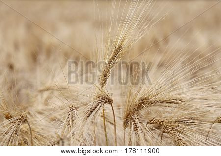 Amazing Background Of Ripe Wheat Ears In The Cultivated Field In