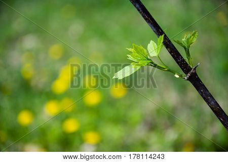 Closeup of thin branch with fresh green leaves. Blurred yellow dandelions in the background. Copyspace