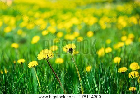 Several Yellow Dandelions With Blurred Dandelions In The Green Grass, On A Bright Spring Day. Blurre