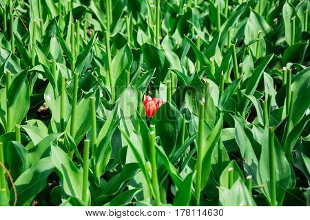 Blooming single red tulip in green lawn with stems without tulips in Keukenhof park in Netherlands Europe