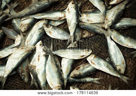 A lot of small fish in fishing nets