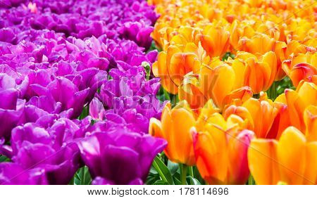 Blooming violet and yellow tulips in lawn selective focus in Keukenhof park in Netherlands Europe