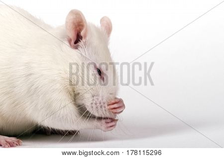 lab rat hides nose from the smell in the paws, closeup on white background