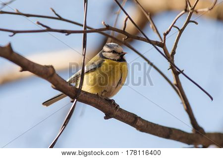 portrait of blue tit on a branch of a tree