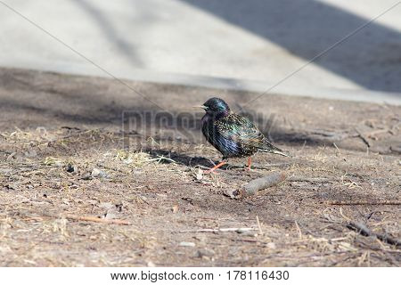 Portrait of the starling on the ground