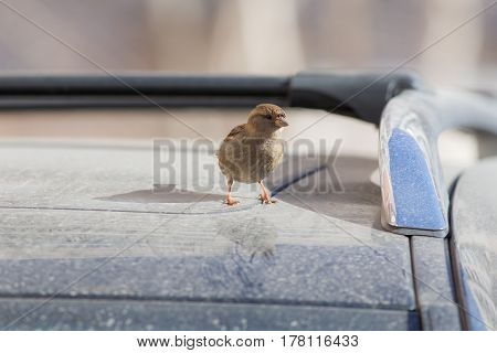 The sparrow sits on the roof of the car