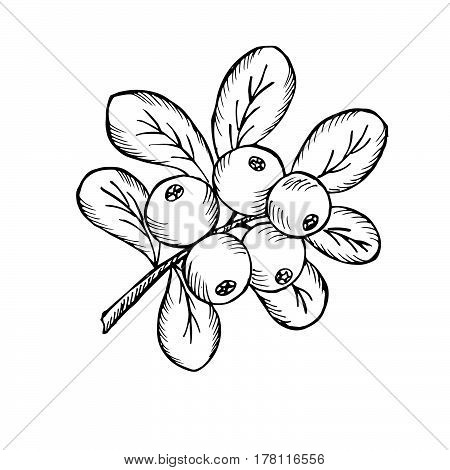 Сowberry with leaves and branches. Illustration doodle sketch hand-drawn bunch of ripened lingonberry. Isolated on white background. The concept of harvesting. Vintage retro style. Ripe cranberry with leaves and branches.