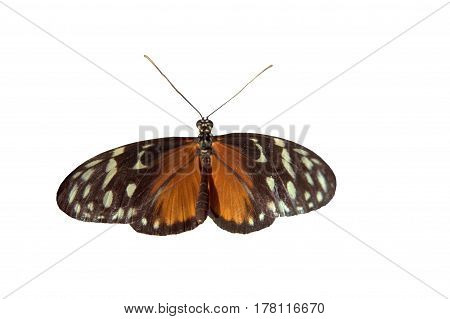 Tithorea tarricina, tarricina longwing, variable presonian, cream-spotted tigerwing butterfly clipping path isolated white background