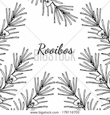 Rooibos tea plant leaf flower. Hand drawn ink sketch illustration lineart. African rooibos tea hot drink. Herbal tea. Square banner.