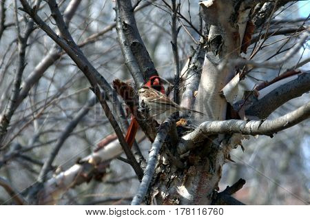 male northern cardinal perched in a tree beside a white throated sparrow