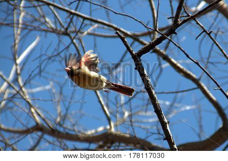 female northern cardinal in flight under a clear blue sky