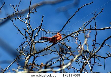 northern cardinal red male perched on a tree branch above under a clear blue sky