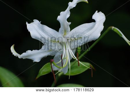 Blooming white stargazer lily flower bloom in a garden.