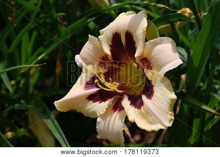 Flowering daylily blossom blooming in a garden.