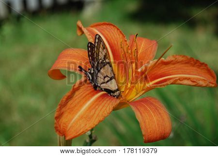 Orange daylily flower blossom with a butterfly on it.