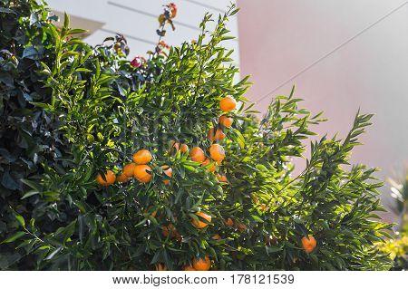 orange trees plantations. Ripe and fresh oranges hanging on branch