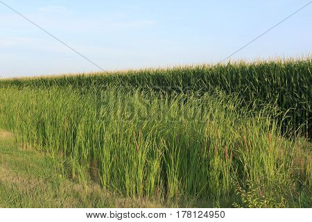 a roadside view of cattails next to a corn field