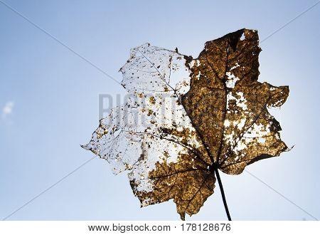 half-skeleted leaf of maple on the sky