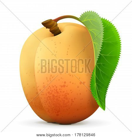 Single apricot fruit close up. Raw apricot with leaf isolated on white background. Qualitative vector illustration about fruits agriculture cooking food gastronomy etc