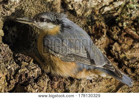 Eurasian nuthatch-The Eurasian nuthatch or wood nuthatch (Sitta europaea) is a small passerine bird found throughout temperate Asia and in Europe
