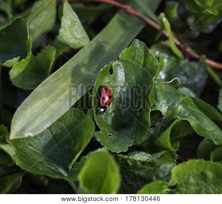 A lady bug on a green leaf plant