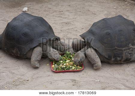 Two Giant Tortoises Eating Salad