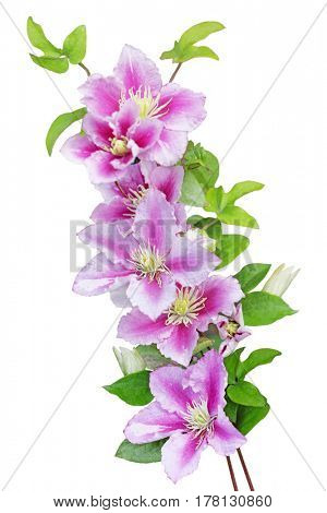 Clematis Nelly Moserflowers isolated on white background