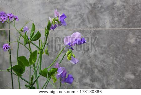 Purple peas flower on the wall with a rope