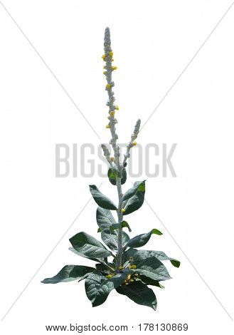 Great Mullein Verbascum thapsus flower Plant isolated on white background