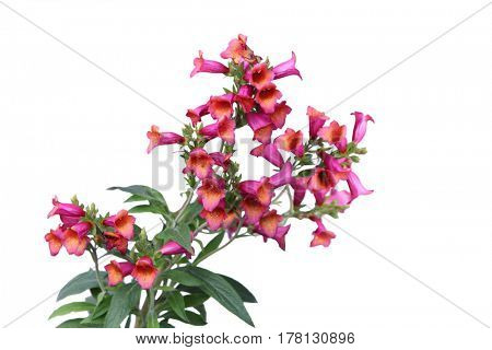 Digitalis purpurea Foxglove flower isolated on white background